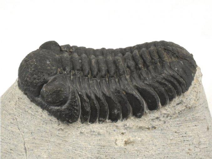 trilobit z maroka 30c