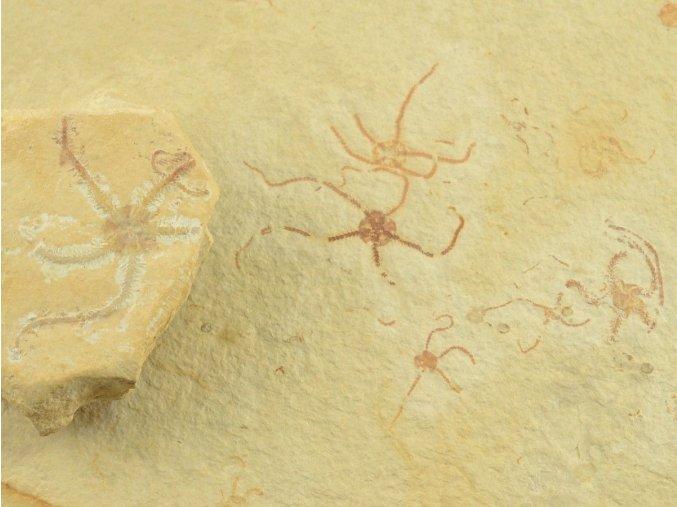 Hvězdice Ophiopetra lithographica (11)
