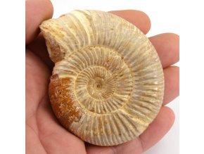 Amonit Perisphinctes sp., (19)