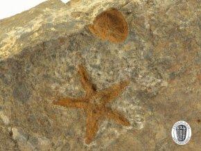 Zkamenělá hvězdice Petraster sp. (4)
