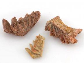 Zuby fosilního bahníka - Neoceratodus sp. (3ks)