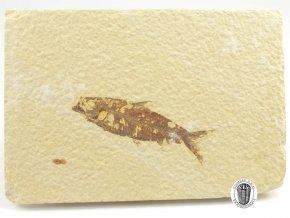 Fosilní ryba, Knightia eocaena (30)