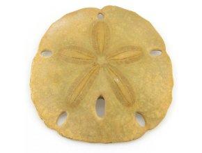 Sand dollar - ježovka (2)