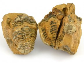 Trilobit Dicalymene sp. (8)