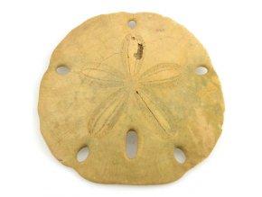 Sand dollar - ježovka (17)
