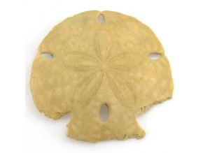 Sand dollar - ježovka (18)