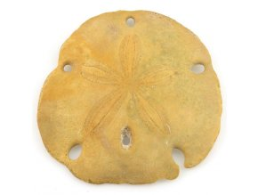 Sand dollar - ježovka (10)