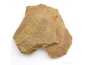 Graptolit Dictyonema sp. (18)