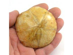 Fosilní ježovka Pygurus marmonti (9)