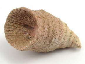 koral rugosa 7