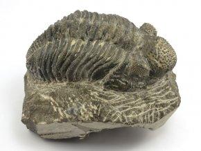 drotops megalomanicus trilobit 4