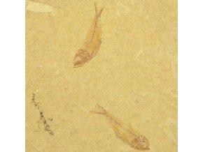ryba Gosiutichthys parvus 8