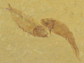 ryba Gosiutichthys parvus 14b