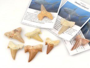 Žraločí zub Otodus obliquus (1ks)