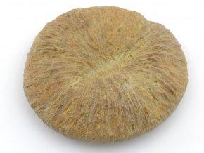 koral Cyclolites 1