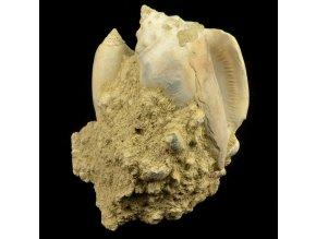 Zkamenělé schránky plžů (3)