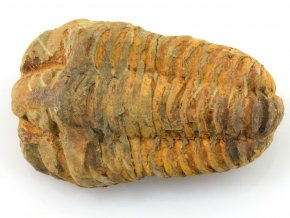 trilobit flexicalymene 6