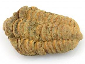 trilobit flexicalymene 10