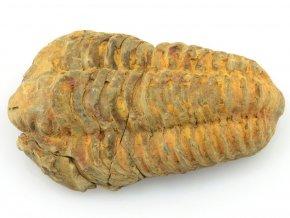trilobit flexicalymene 14