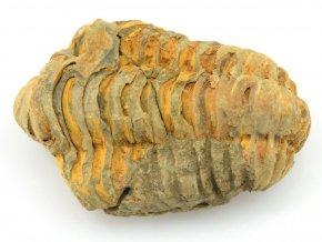 trilobit flexicalymene 23