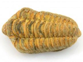 trilobit flexicalymene 26