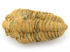 trilobit flexicalymene 27