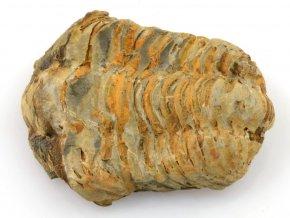 trilobit flexicalymene 31