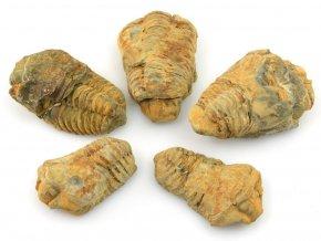 trilobiti flexicalymene 2