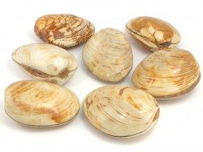 zkamenela musle madagaskar