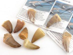 Fosilní zub Mosasaurus beaugei 3-4cm (1ks)