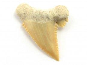 zraloci zub Palaeocarcharodon orientalis 8