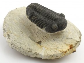 trilobit maroko 20