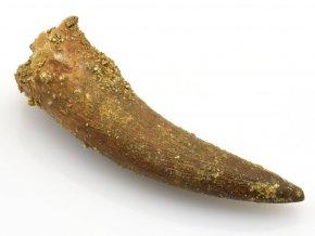 plesiosaurus zub 16