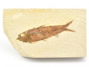 ryba knightia 3