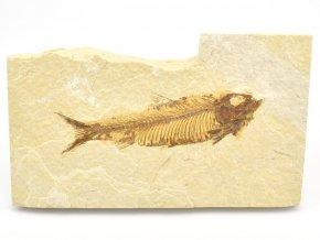 ryba knightia 6
