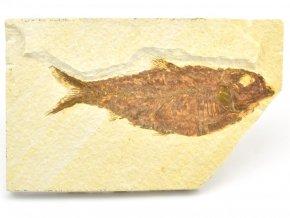 ryba knightia 9