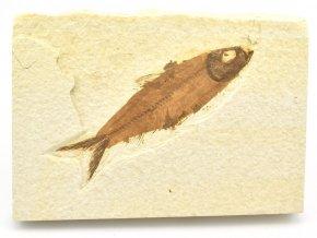 ryba knightia 13