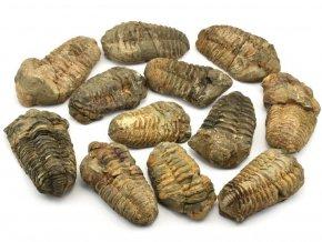 trilobit calymene maroko 1ks