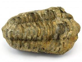 trilobit flexicalymene 50