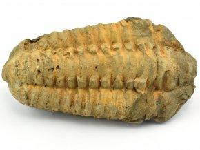 trilobit flexicalymene 54