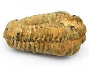 trilobit flexicalymene 55