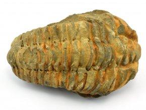 trilobit flexicalymene 59
