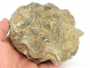 Fosilní ústřice Nicaisolopha nicasei (2)