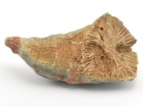 koral rugosa 6b