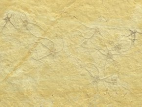 hvezdice Ophiopetra lithographica 3a
