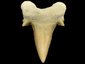 zraloci zub otodus maroko 3
