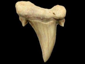 zraloci zub otodus maroko 8