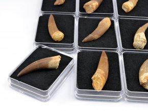 Plesiosaurus - zub (1ks)
