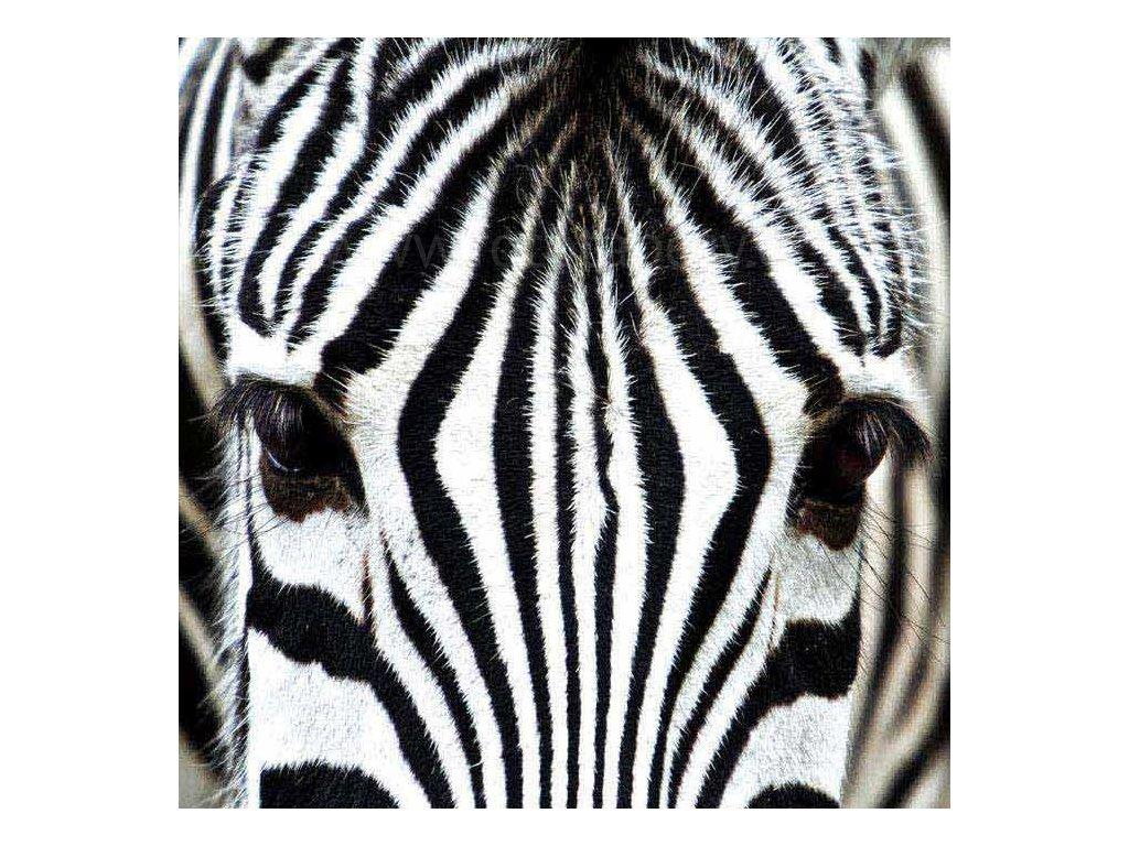 Samolepící fototapeta na podlahu - Zebra, 170x170cm, 010