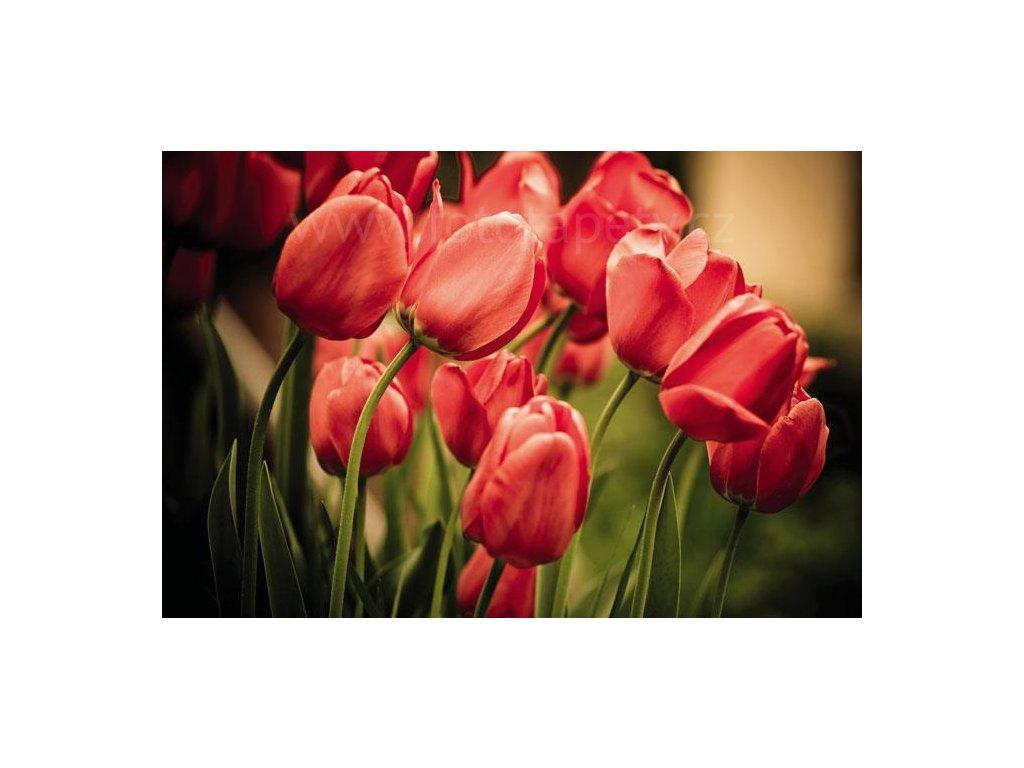 Samolepící fototapeta na podlahu - Červené tulipány, 255x170cm, 004